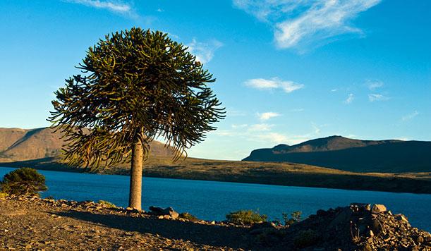 Un circuito por los grandes bosques de araucarias al pie de la Cordillera