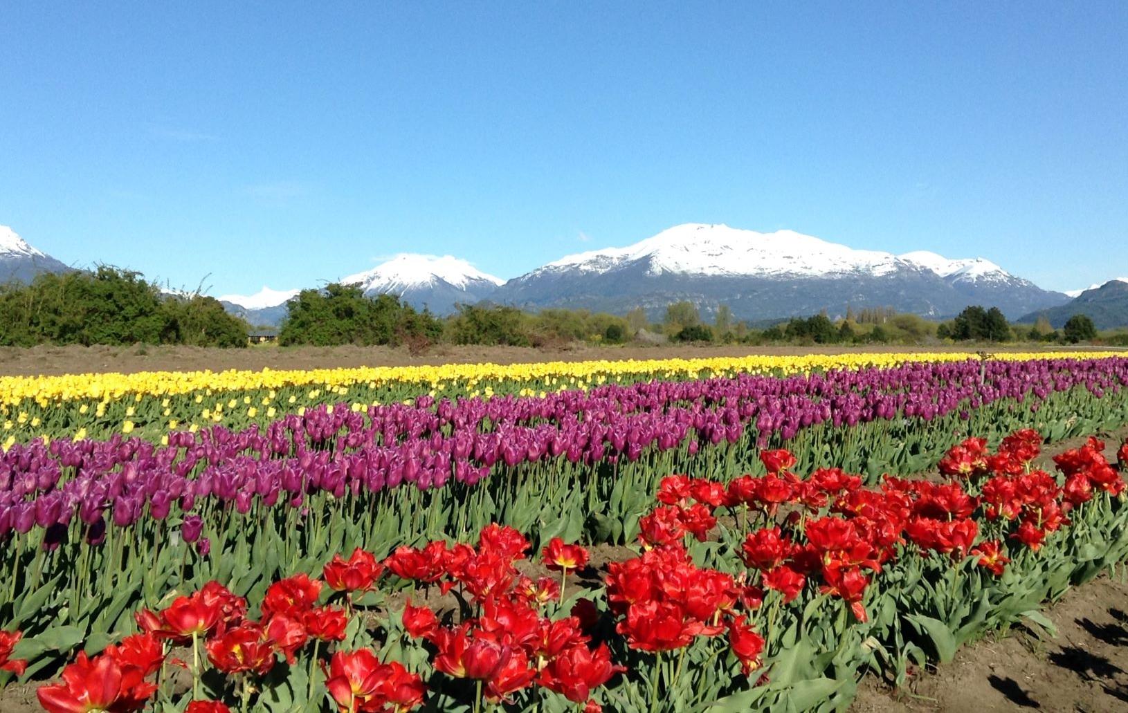 Un mar de tulipanes al pie de los Andes en Chubut