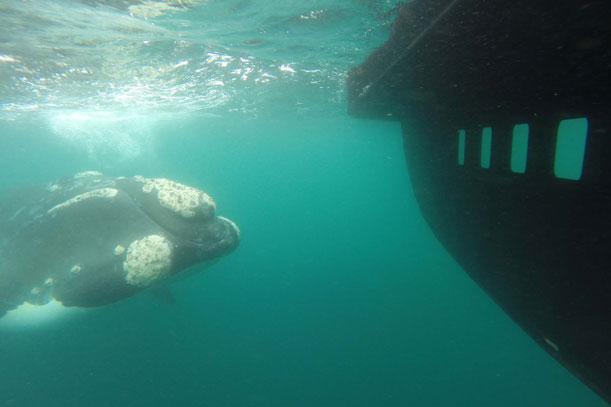 Ballenas, pingüinos, lobos, toninas y orcas.
