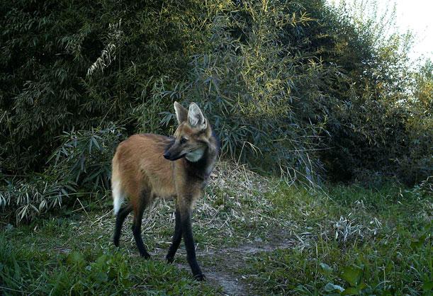 Dos ejemplares de esta especie han sido regresado a la naturaleza en Córdoba