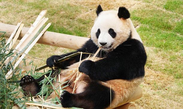 Panda World, el único lugar para ver pandas en Corea