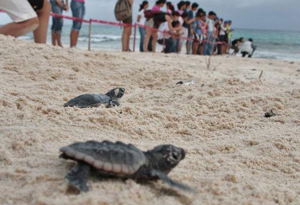 Se vennacer tortugas marinas en las playas de la Riviera Maya