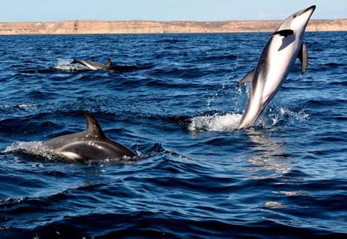 Avistaje de delfines en las aguas de Puerto Madryn
