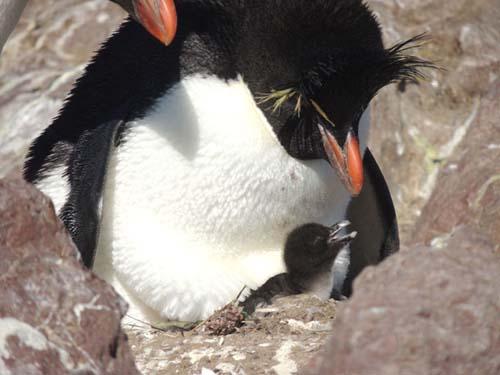 El primer bebé de la temporada en la Isla Pingüino