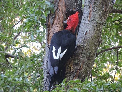 A observar aves en Villa La Angostura