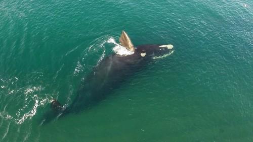 Un récord histórico de ballenas en el Golfo Nuevo