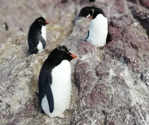Llegaron los pingüinos de penacho amarillo