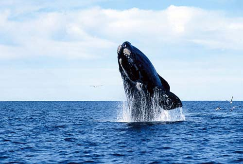 Ya arrancó la temporada 2015 de avistaje de ballenas