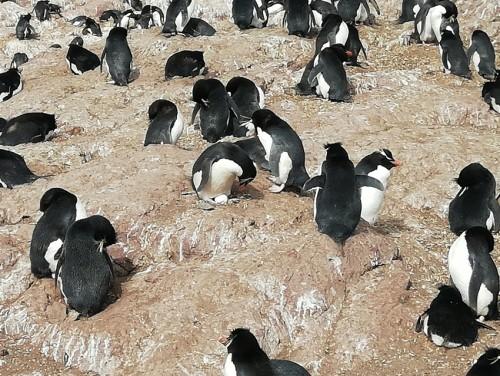 Se vienen los nacimientos en Isla Pingüino