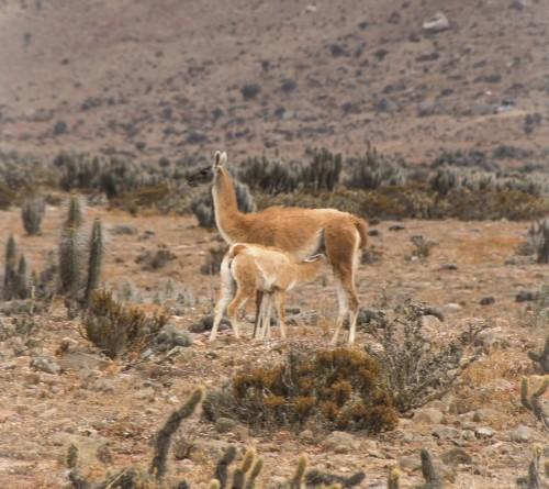 Tierra del Fuego no permitirá la caza de guanacos