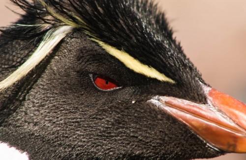 Temporada de Penacho Amarillo - Un día en Isla Pingüino