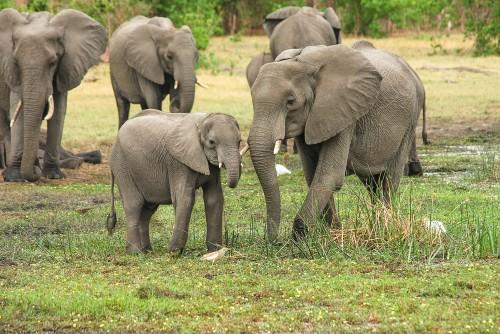 El Botswana autoriza la caza de elefantes