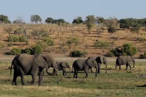 Botswana confirmó que autoriza la caza de elefantes