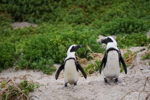 Así pescan los pingüinos del Cabo