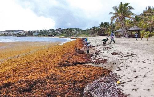 Las algas siguen invadiendo el Caribe