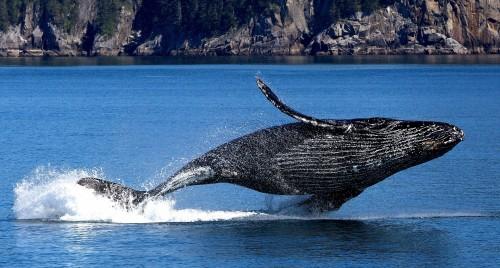 En Japón vuelven a cazar ballenas