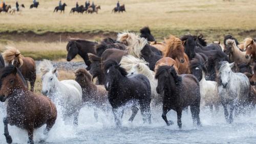 En Islandia: la gran fiesta equina del otoño