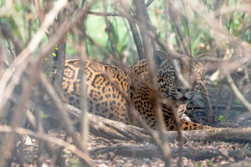 Reintroducen un yaguareté macho en el Iberá