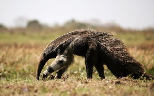 La lista roja de los mamíferos en peligro en la Argentina