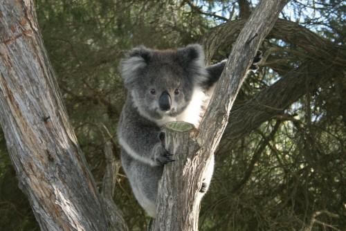 Los koalas en peligro de extinción