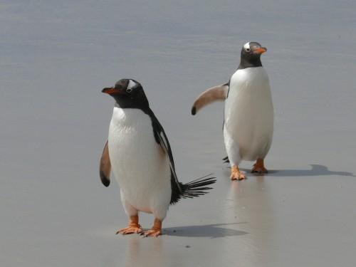 Isla Martillo: la única con cuatro especies de pingüinos en la Argentina
