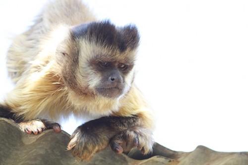 Proyecto Carayá - El santuario del mono aullador