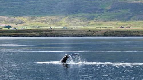 Islandia dejó de cazar ballenas