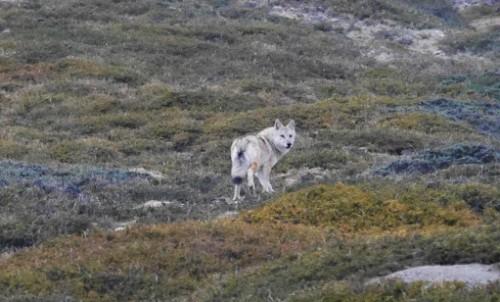 Identificaron una nueva especie de lobo