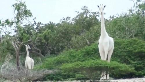 Furtivos mataron la jirafa blanca de Kenya