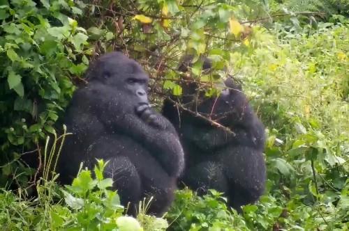Durante la cuarentena: conocé una colonia de gorilas