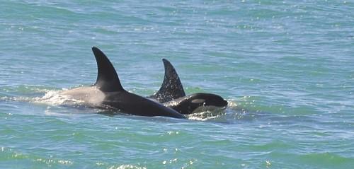 Nacieron bebes orcas en Madryn