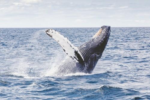 Este vídeo muestra como las ballenas jorobadas alimentan sus crías