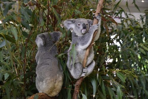 Durante la cuarenta: enamórate de los koalas