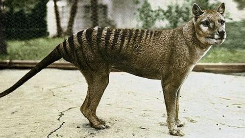 Asi eran los tigres de Tasmania