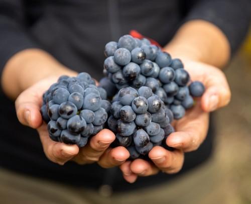Pinot noir: una uva enamorada de la Patagonia