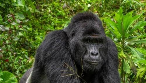 Mataron a Rafiki, famoso gorila de Uganda