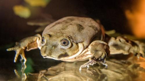 Quieren salvar la rana gigante del Lago Titicaca