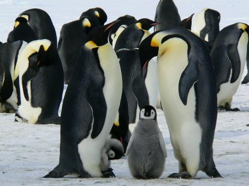 Descubren nuevas colonias de pingüinos emperadores en la Antártida