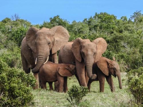Se celebra el Día Mundial del Elefante