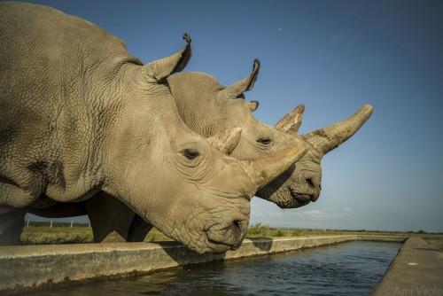 Quieren salvar una subespecie de rinocerontes