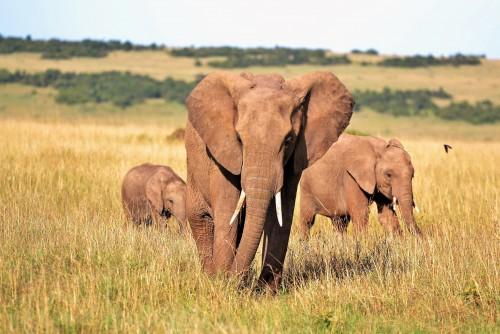 Podrás adoptar un elefante para contribuir a salvar la especie