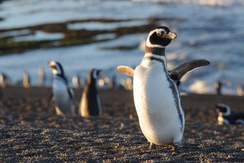 Ya volvieron los pingüinos a Punta Tombo