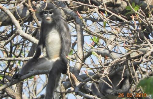 Apenas descubierta y ya en peligro: una nueva especie de mono en Birmania