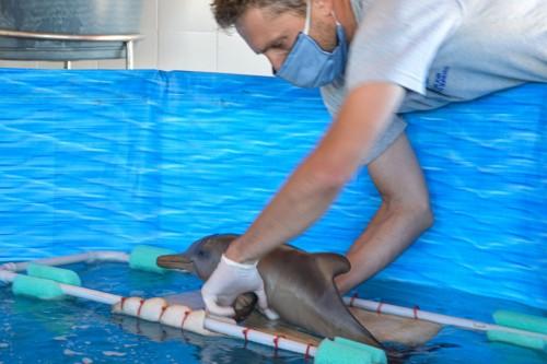 Así recataron a cachorros de delfines franciscanas
