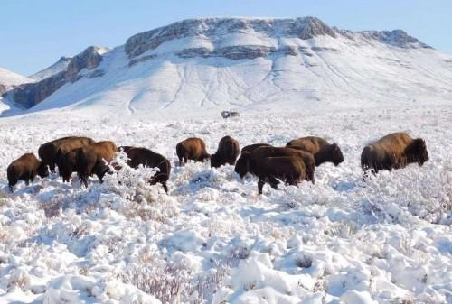 Reintroducen bisontes en México por primera vez en un siglo