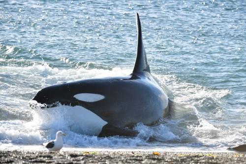 Temporada 2021 de orcas en Puerto Madryn