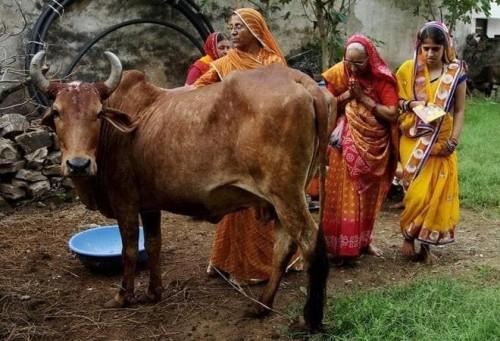 Solo en la India: venden una bebida hecha con orina de vaca