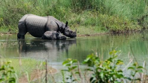 Crece la población de rinocerontes de Nepal