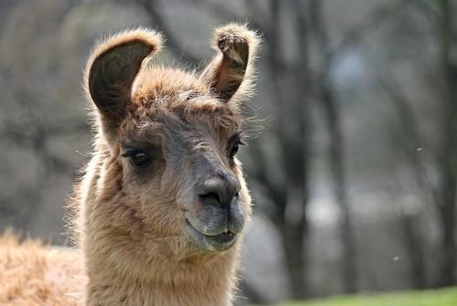 Llama, alpaca, vicuña y guanaco: quién es quién