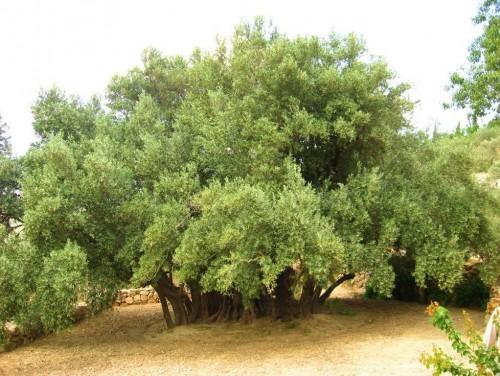 En Belén: un olivo más antiguo que el Cristianismo